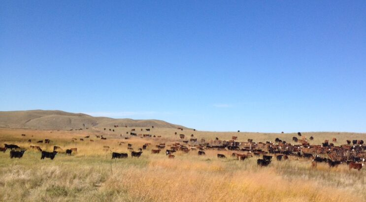 Weaning Day in the Life of this Ranch Wife
